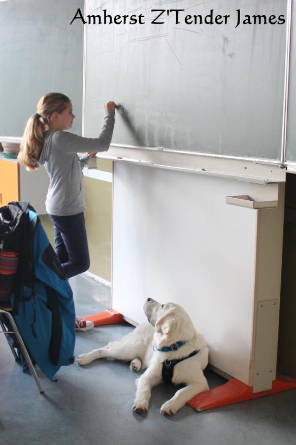 Amherst Golden Retriever Therapie Schulhunde